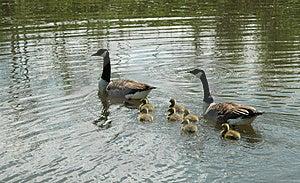 Canadian Goose Family Free Stock Photos