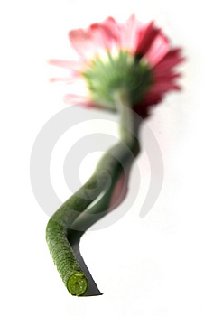 Close Up Of Gerbera Stem Stock Photography