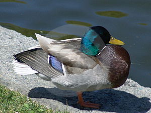 Male Mallard Duck Stock Image