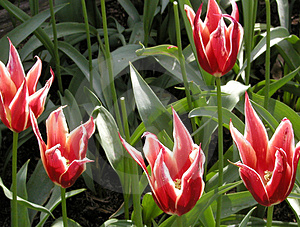 Aladdin Tulips Free Stock Photo