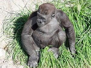 Gorila do assentamento Fotos de Stock