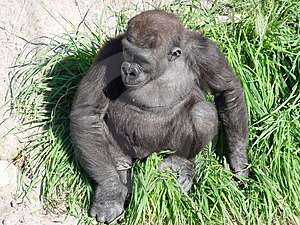 Gorille d'emboîtement Photos stock