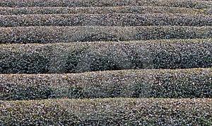 Tea Field In Winter Texture Stock Photos
