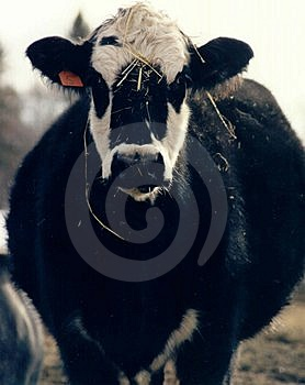 母亲母牛 免版税库存照片