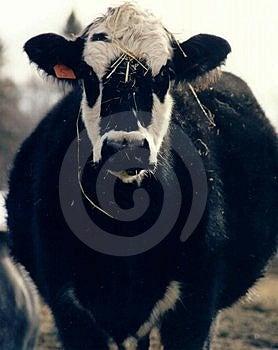 Vaca da mãe Foto de Stock Royalty Free