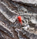 Tiny Red Bug