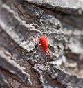 Tiny Red Bug Royalty Free Stock Photos
