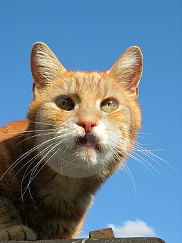 Ginger Tom Royalty Free Stock Photos - Image: 1105258