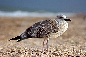 Seagull On The Beach Royalty Free Stock Photography - Image: 11074717
