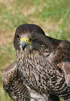 Bird Of Prey Royalty Free Stock Images - Image: 1110639