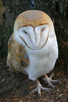 Barn Owl Royalty Free Stock Image - Image: 1112316