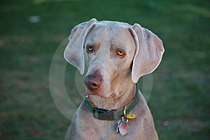 Weimaraner Royalty Free Stock Photo - Image: 11103575