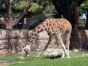 Long Neck Giraffe Stock Photo - Image: 1120470