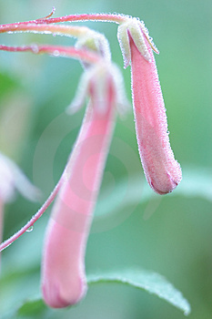 Pink Flower Ready To Bloom Stock Image - Image: 1120911