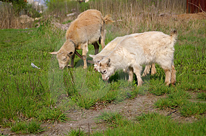 Goats Eating Royalty Free Stock Image - Image: 1128706