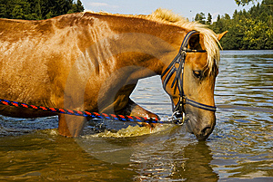 Bathing Horse In Nature Stock Photography - Image: 11281932