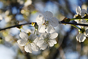 Blossoming Cherry And Morning Sunlight Stock Image - Image: 11353111