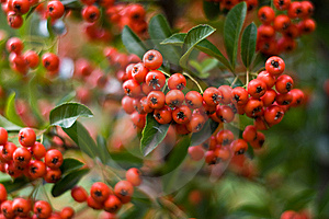 Red Tiny Fruits Lost In Focus Stock Image - Image: 11377841