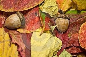 Autumn Beautiful Colored Leaves and Acorns