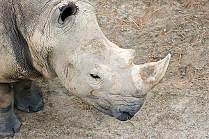 Rhinoceros Looking Down Stock Image - Image: 1145121