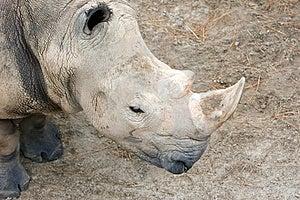 Rhinoceros Looking Down Stock Image - Image: 1145121