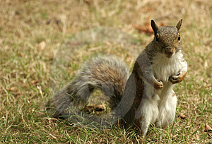Grey Cheeky Squirrel Royalty Free Stock Photo - Image: 1152655