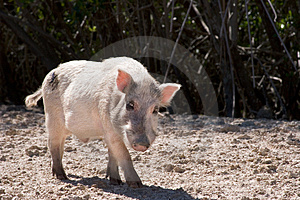 Boar Stock Images - Image: 1154584