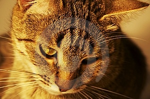 Cat Royalty Free Stock Photos - Image: 1157208