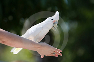 Goffin's Cockatoo With Dollar Bill Stock Image - Image: 1157501
