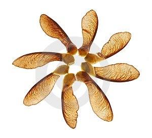 Maple Seeds Royalty Free Stock Photo - Image: 11509555