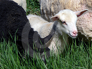 Lambs Royalty Free Stock Photos - Image: 1169678