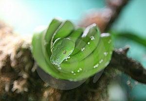 Green Tree Python Stock Image - Image: 1170751
