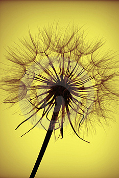 Seedhead Silhouette Royalty Free Stock Photos - Image: 1170888