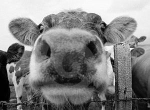 Cow Mouth 1 Stock Photos - Image: 1173773
