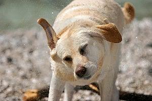 Dog Shake Royalty Free Stock Image - Image: 1175306