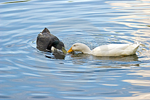 2 Ducks Stock Photography - Image: 1178062