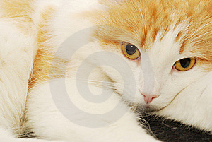 Ginger Cat Portrait Stock Photos - Image: 11760683