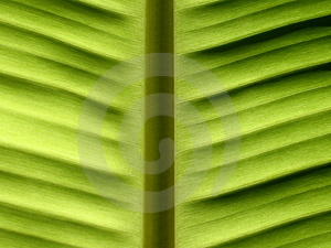 Banana Leave Royalty Free Stock Photos - Image: 1180128