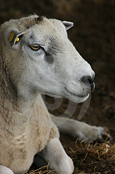 Sheep Portrait Royalty Free Stock Photos - Image: 1180718