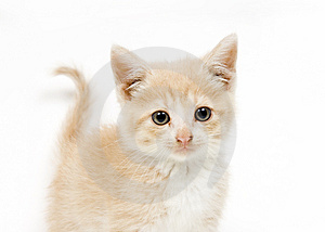 Yellow kitten on white backgroun looking at camera
