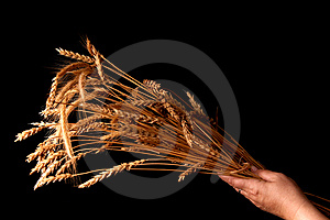 Wheat 1 Royalty Free Stock Photography