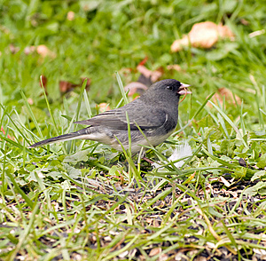 Junco Bird On Grass Royalty Free Stock Photos - Image: 11937388