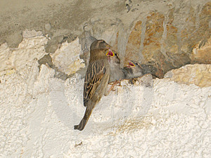 Bird Mammy Feeds Her Nestlings Stock Photos