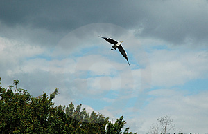 Heron In Flight Stock Photo