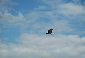 Heron In Flight Stock Photo
