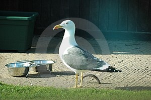 Seagull Free Stock Image
