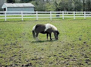 Cavallino di Shetland Immagini Stock Libere da Diritti