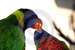 Colorful Green Parrot Feeding Another Parrot Close Up Imagen De Archivo Gratis