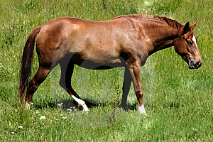 Brown Horse Grazing Stock Images
