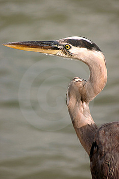 Heron Free Stock Photo